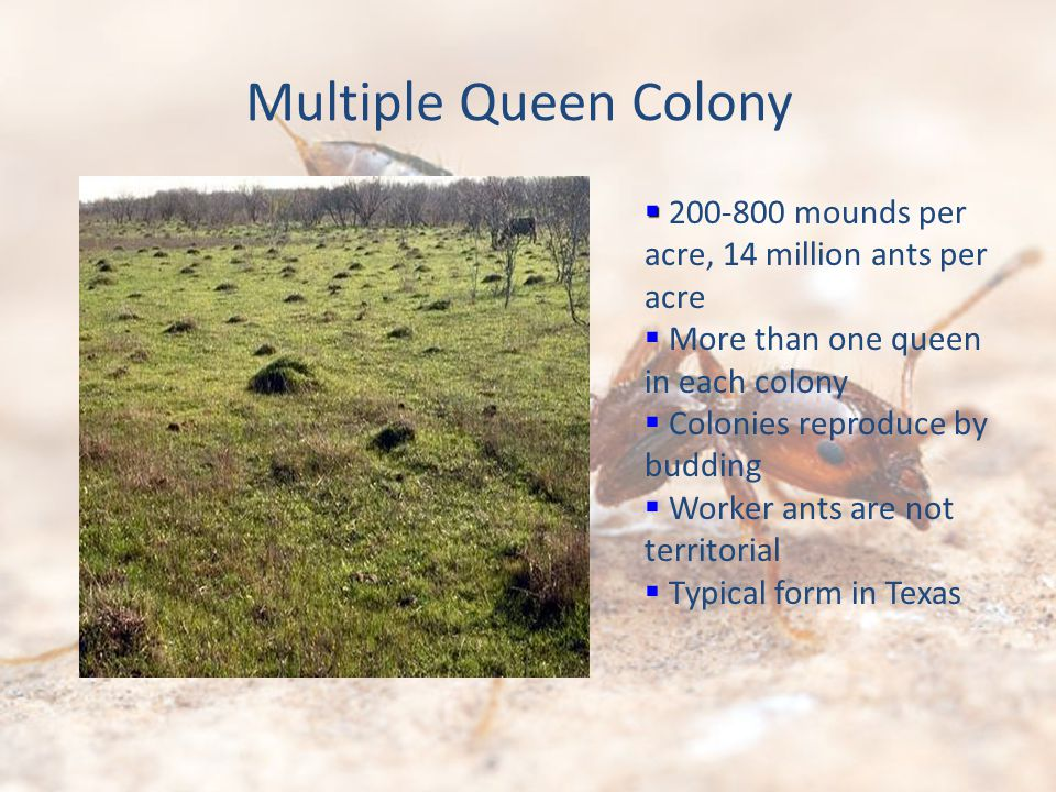 Multiple Queen Colony 200-800 mounds per acre, 14 million ants per acre More than one queen in each colony Colonies reproduce by budding Worker ants are not territorial Typical form in Texas