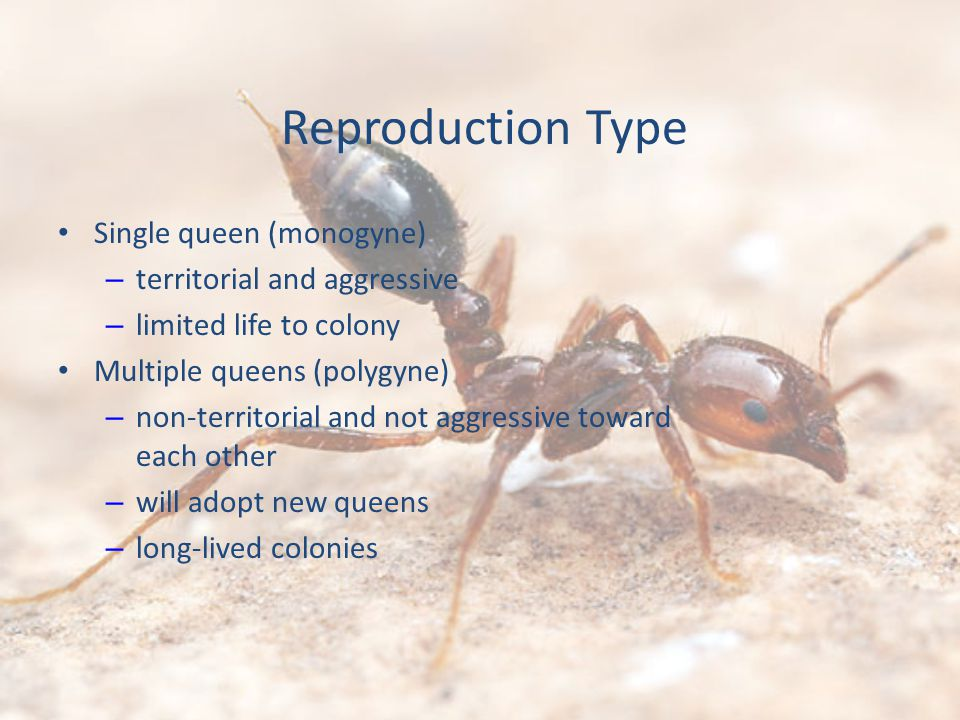 Reproduction Type Single queen (monogyne) – territorial and aggressive – limited life to colony Multiple queens (polygyne) – non-territorial and not aggressive toward each other – will adopt new queens – long-lived colonies
