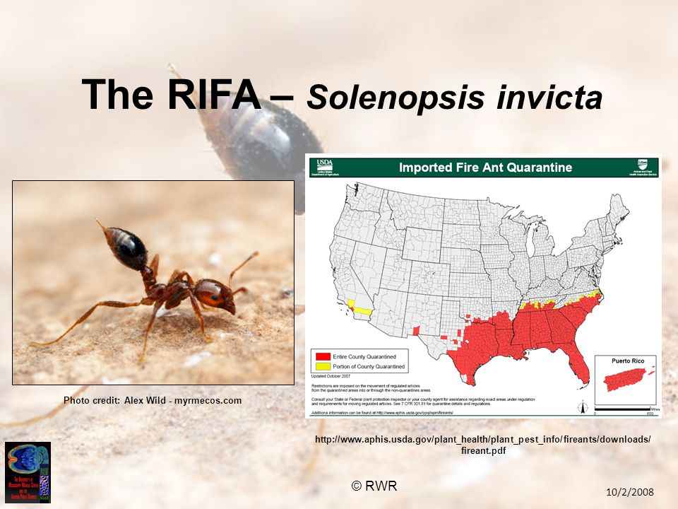The RIFA – Solenopsis invicta http://www.aphis.usda.gov/plant_health/plant_pest_info/fireants/downloads/ fireant.pdf © RWR Photo credit: Alex Wild - myrmecos.com 10/2/2008