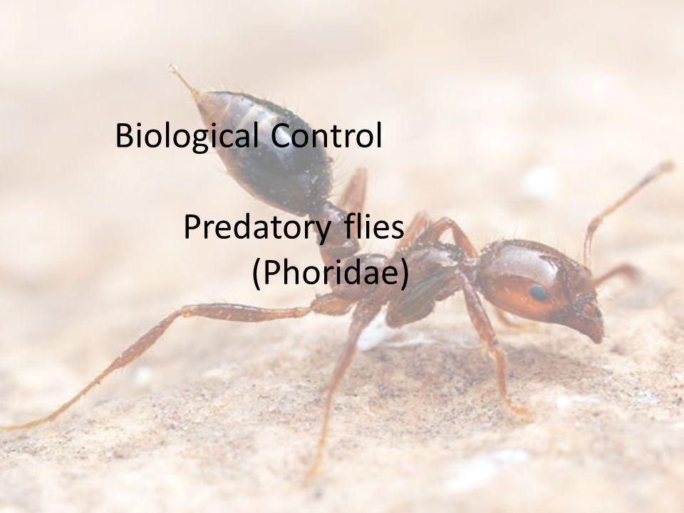 Biological Control Predatory flies (Phoridae)