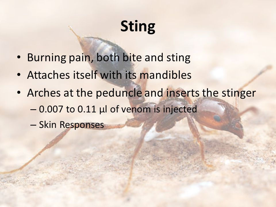 Sting Burning pain, both bite and sting Attaches itself with its mandibles Arches at the peduncle and inserts the stinger – 0.007 to 0.11 µl of venom