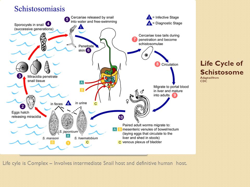 Life Cycle of Schistosome Adapted from CDC Life cyle is Complex – Involves intermediate Snail host and definitive human host.