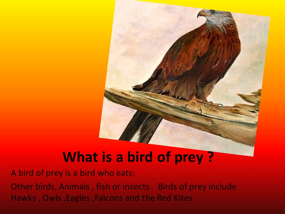 The Kite and all other birds of prey have sharp beaks and talons for catching, killing and eating prey.