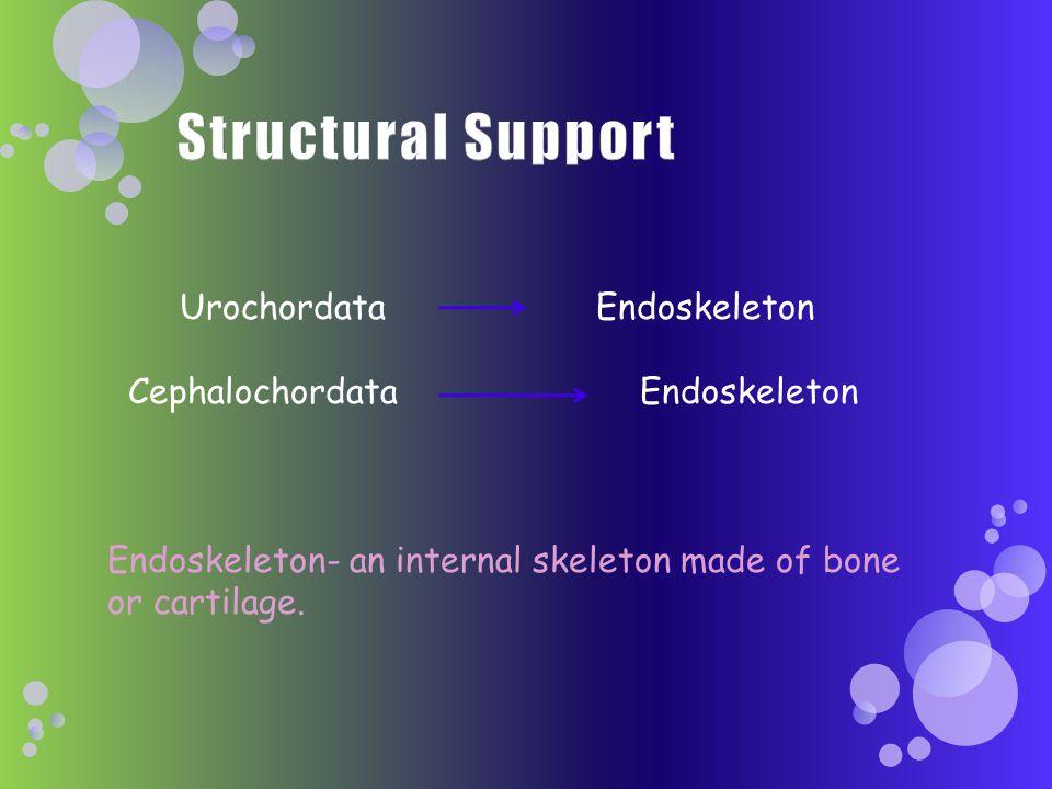 Urochordata Endoskeleton Cephalochordata Endoskeleton Endoskeleton- an internal skeleton made of bone or cartilage.