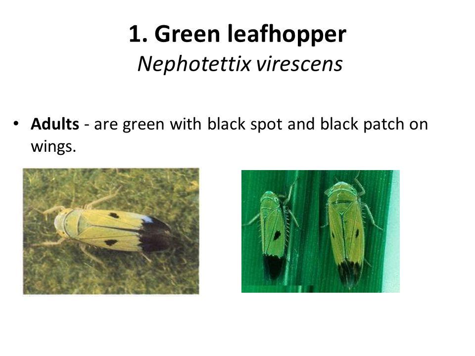 Symptom of damage Leaves fold longitudinally and larvae remains inside.