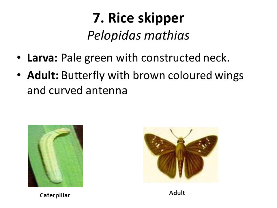 7. Rice skipper Pelopidas mathias Larva: Pale green with constructed neck. Adult: Butterfly with brown coloured wings and curved antenna Caterpillar A