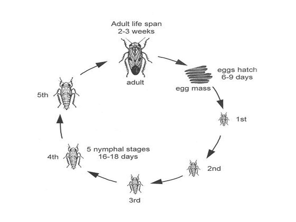 EggLarva Adult 4. Yellow stem borer Scirpophaga incertulas
