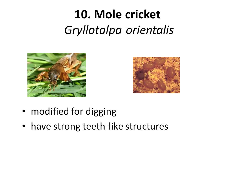 10. Mole cricket Gryllotalpa orientalis modified for digging have strong teeth-like structures
