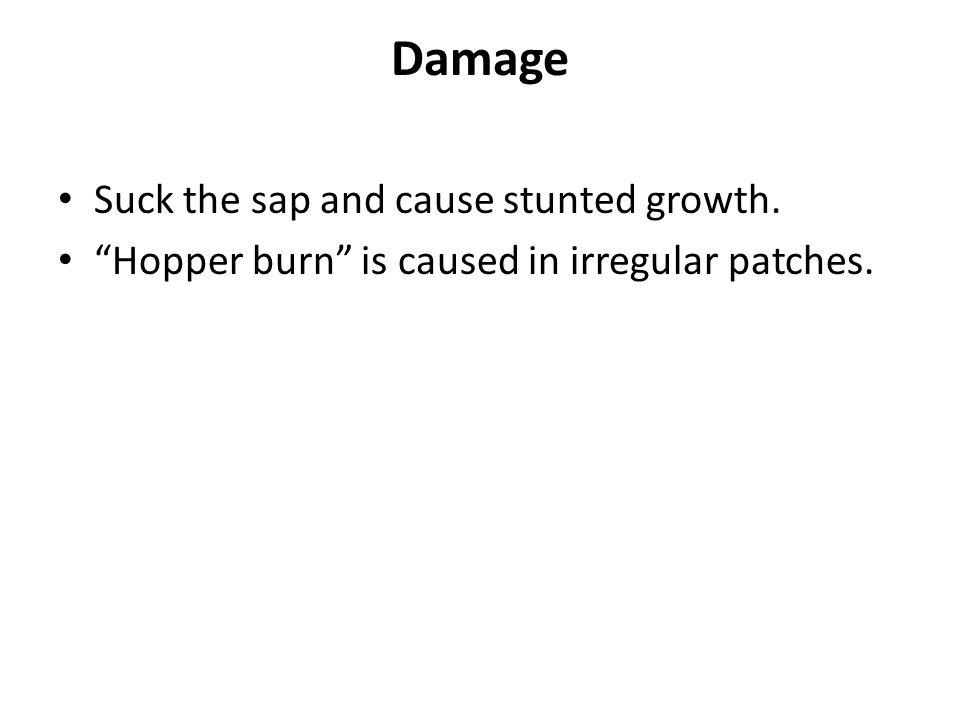 Damage Suck the sap and cause stunted growth. Hopper burn is caused in irregular patches.