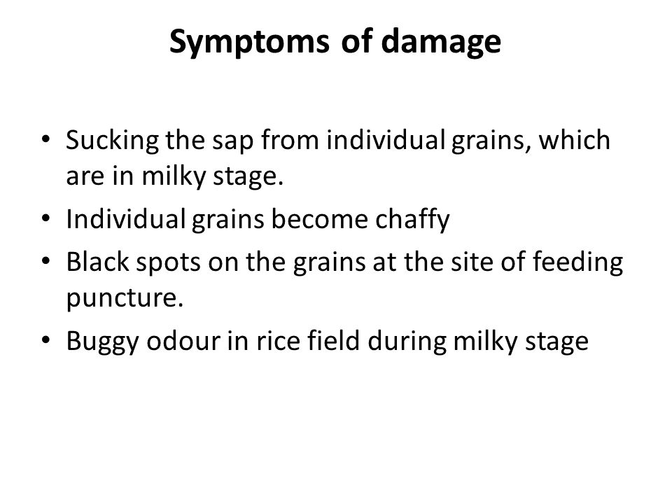 Symptoms of damage Sucking the sap from individual grains, which are in milky stage. Individual grains become chaffy Black spots on the grains at the