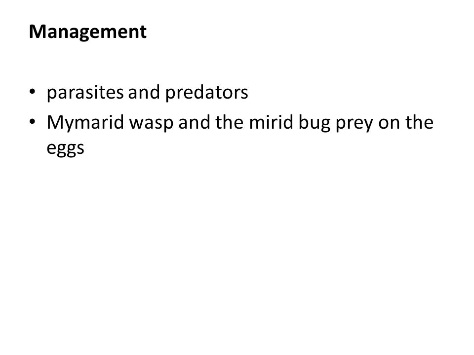 Management parasites and predators Mymarid wasp and the mirid bug prey on the eggs