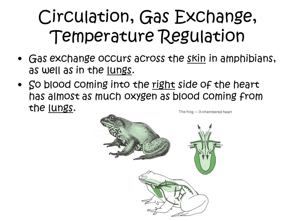 Circulation, Gas Exchange, Temperature Regulation Gas exchange occurs across the skin in amphibians, as well as in the lungs. So blood coming into the