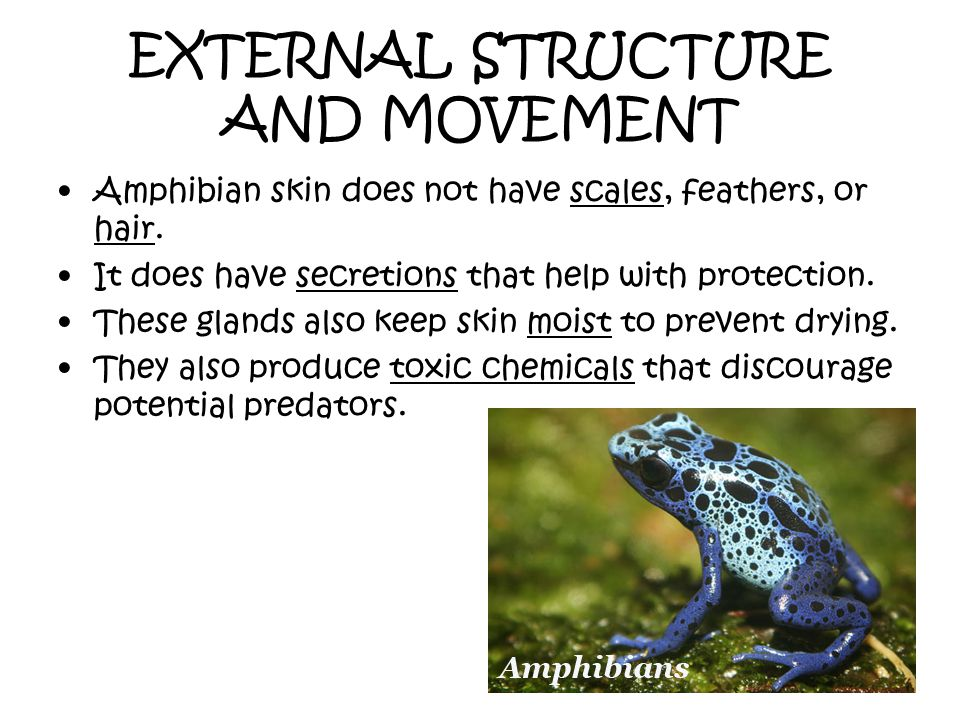 EXTERNAL STRUCTURE AND MOVEMENT Amphibian skin does not have scales, feathers, or hair. It does have secretions that help with protection. These gland
