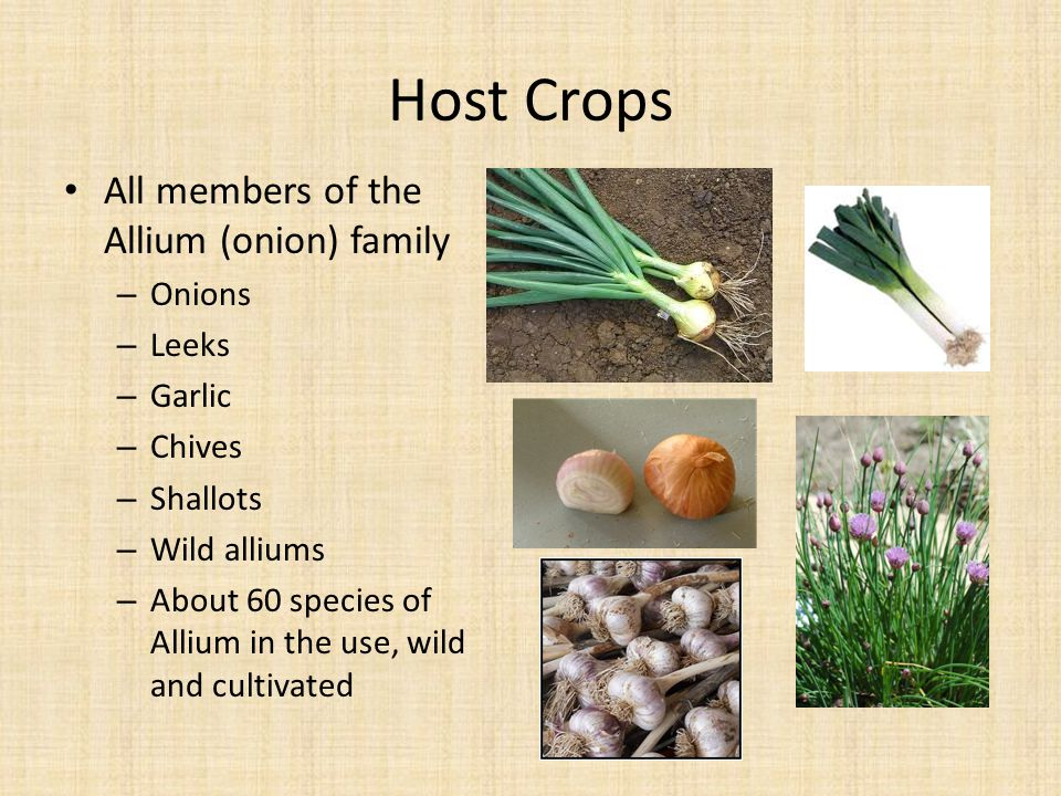 Host Crops All members of the Allium (onion) family – Onions – Leeks – Garlic – Chives – Shallots – Wild alliums – About 60 species of Allium in the u