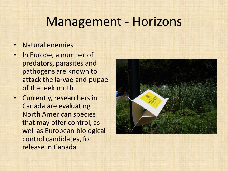 Management - Horizons Natural enemies In Europe, a number of predators, parasites and pathogens are known to attack the larvae and pupae of the leek m