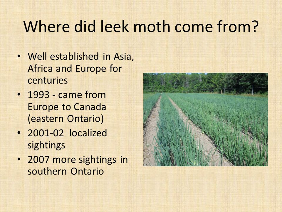 Where did leek moth come from? Well established in Asia, Africa and Europe for centuries 1993 - came from Europe to Canada (eastern Ontario) 2001-02 l
