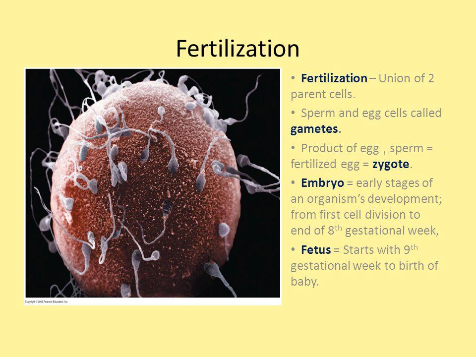 Fertilization Fertilization – Union of 2 parent cells. Sperm and egg cells called gametes. Product of egg + sperm = fertilized egg = zygote. Embryo =