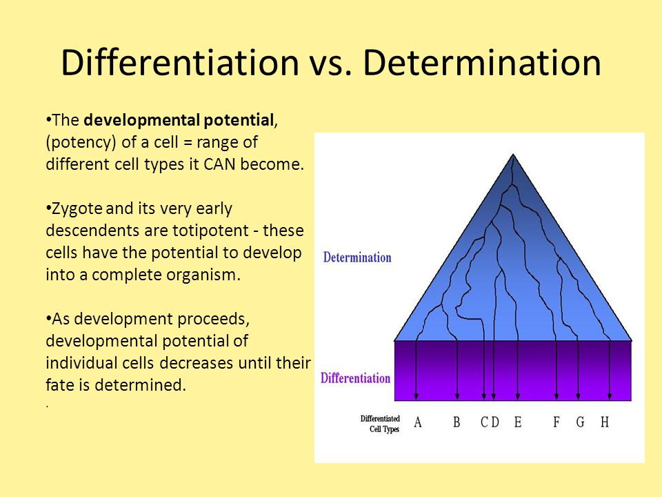 Differentiation vs. Determination The developmental potential, (potency) of a cell = range of different cell types it CAN become. Zygote and its very