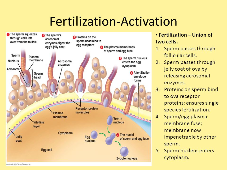 Fertilization-Activation Fertilization – Union of two cells. 1.Sperm passes through follicular cells. 2.Sperm passes through jelly coat of ova by rele