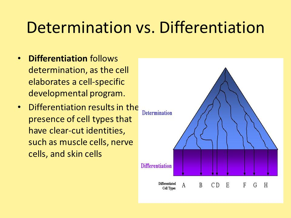Determination vs. Differentiation Differentiation follows determination, as the cell elaborates a cell-specific developmental program. Differentiation