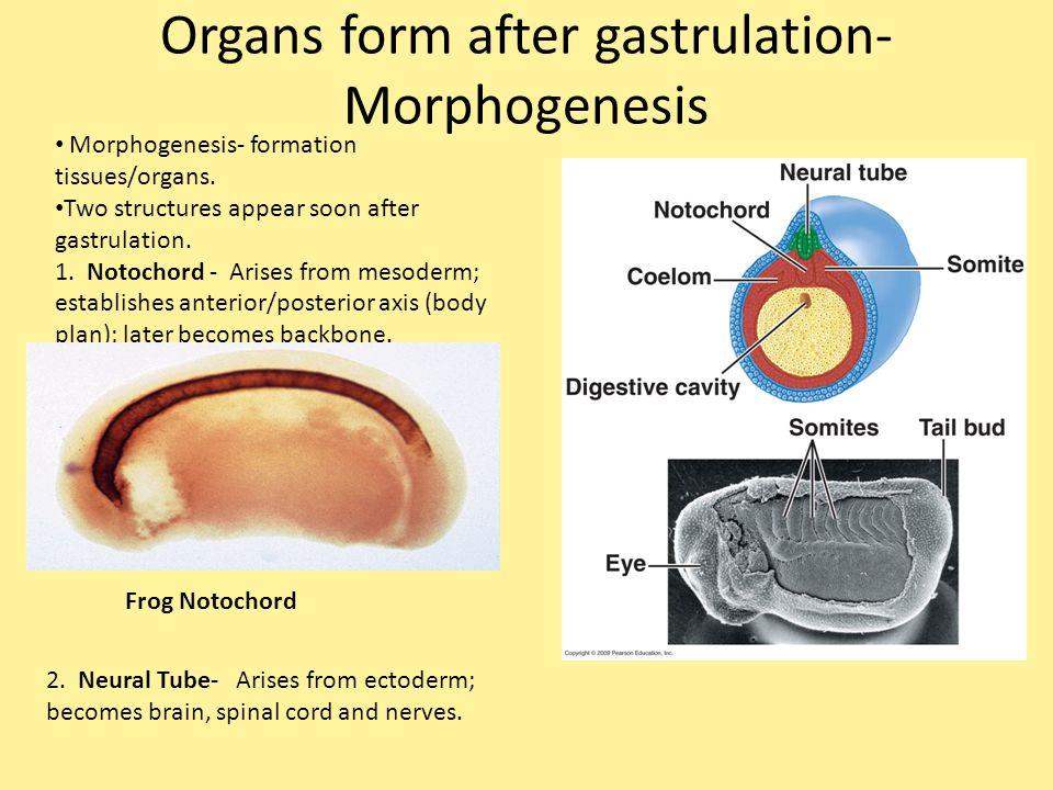 Organs form after gastrulation- Morphogenesis Morphogenesis- formation tissues/organs. Two structures appear soon after gastrulation. 1. Notochord - A