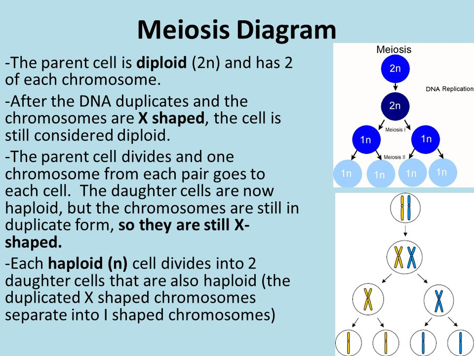 Meiosis Diagram -The parent cell is diploid (2n) and has 2 of each chromosome. -After the DNA duplicates and the chromosomes are X shaped, the cell is