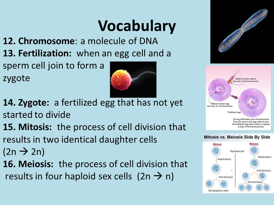 Vocabulary 12. Chromosome: a molecule of DNA 13. Fertilization: when an egg cell and a sperm cell join to form a zygote 14. Zygote: a fertilized egg t