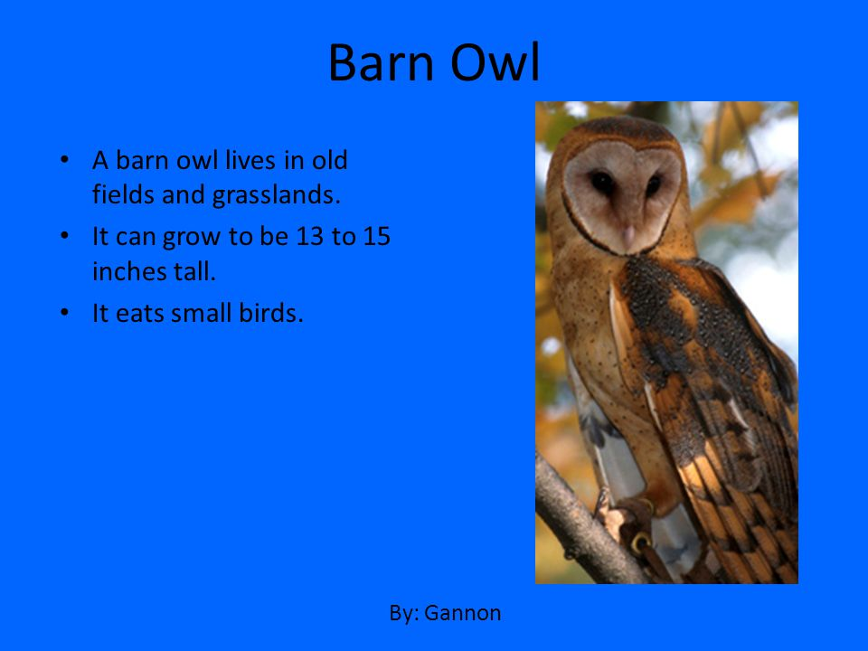 A barn owl lives in old fields and grasslands. It can grow to be 13 to 15 inches tall. It eats small birds. Barn Owl By: Gannon