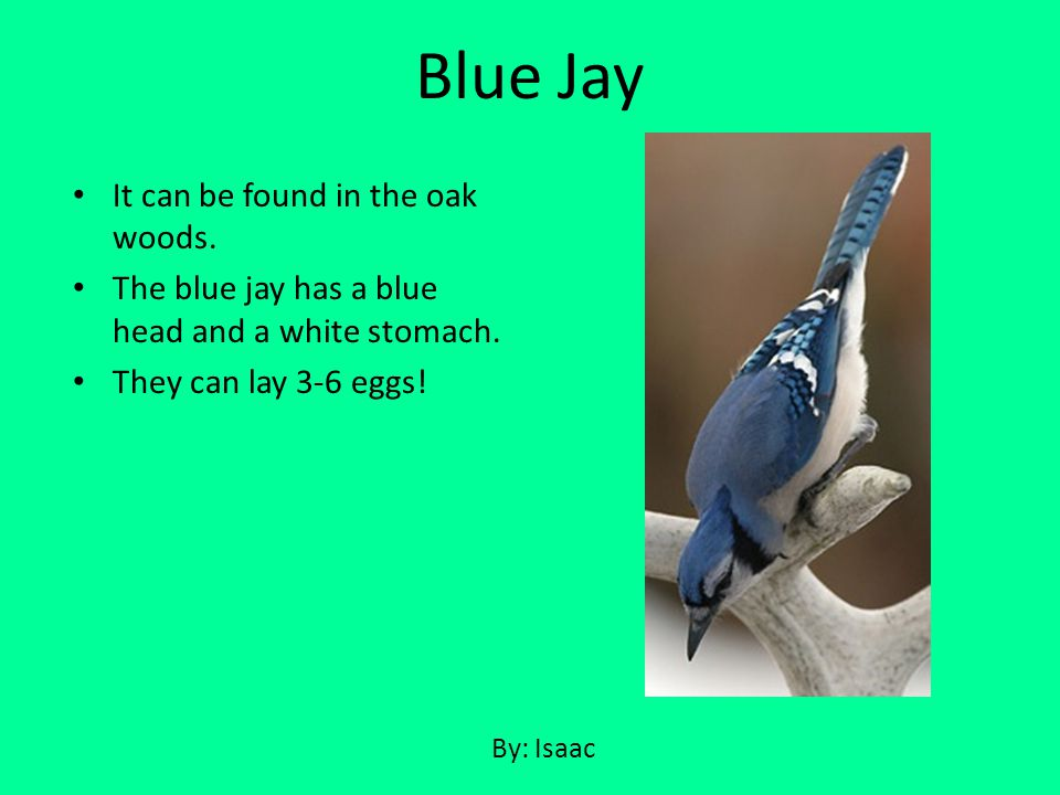 It can be found in the oak woods. The blue jay has a blue head and a white stomach. They can lay 3-6 eggs! Blue Jay By: Isaac