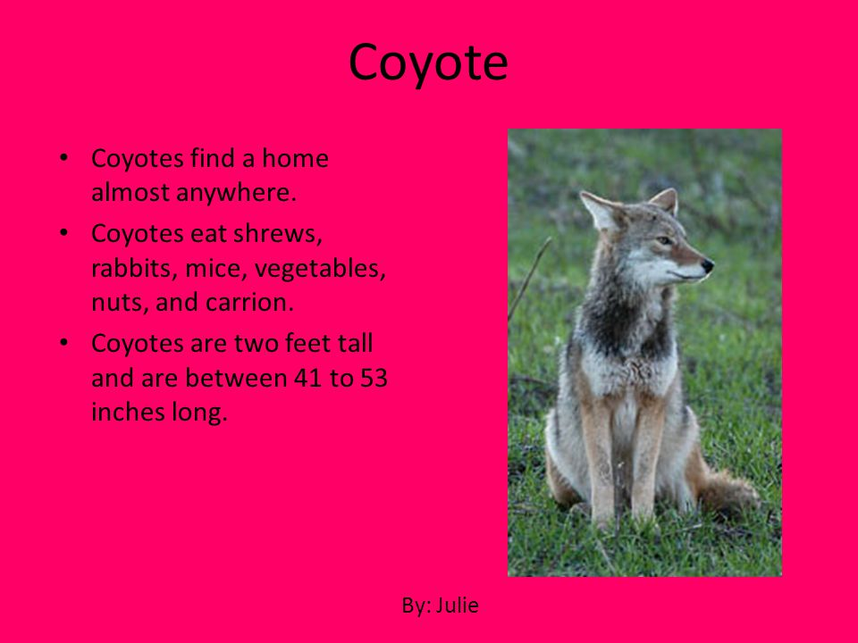 Coyotes find a home almost anywhere. Coyotes eat shrews, rabbits, mice, vegetables, nuts, and carrion. Coyotes are two feet tall and are between 41 to