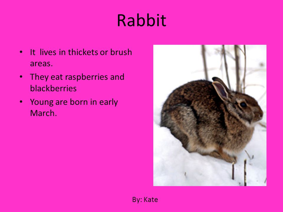 It lives in thickets or brush areas. They eat raspberries and blackberries Young are born in early March. Rabbit By: Kate