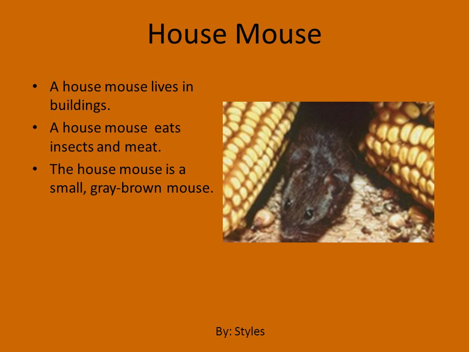 A house mouse lives in buildings. A house mouse eats insects and meat. The house mouse is a small, gray-brown mouse. House Mouse By: Styles