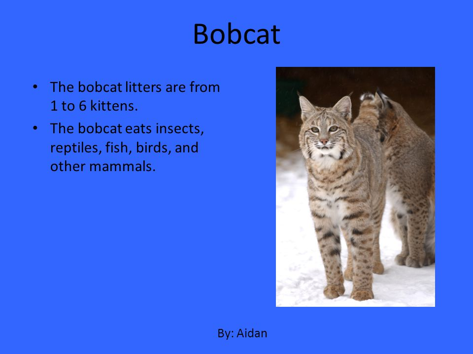 The bobcat litters are from 1 to 6 kittens. The bobcat eats insects, reptiles, fish, birds, and other mammals. Bobcat By: Aidan