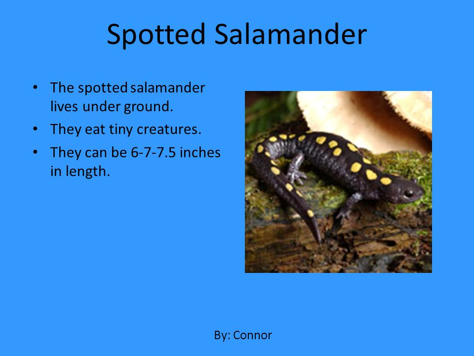 The spotted salamander lives under ground. They eat tiny creatures. They can be 6-7-7.5 inches in length. Spotted Salamander By: Connor