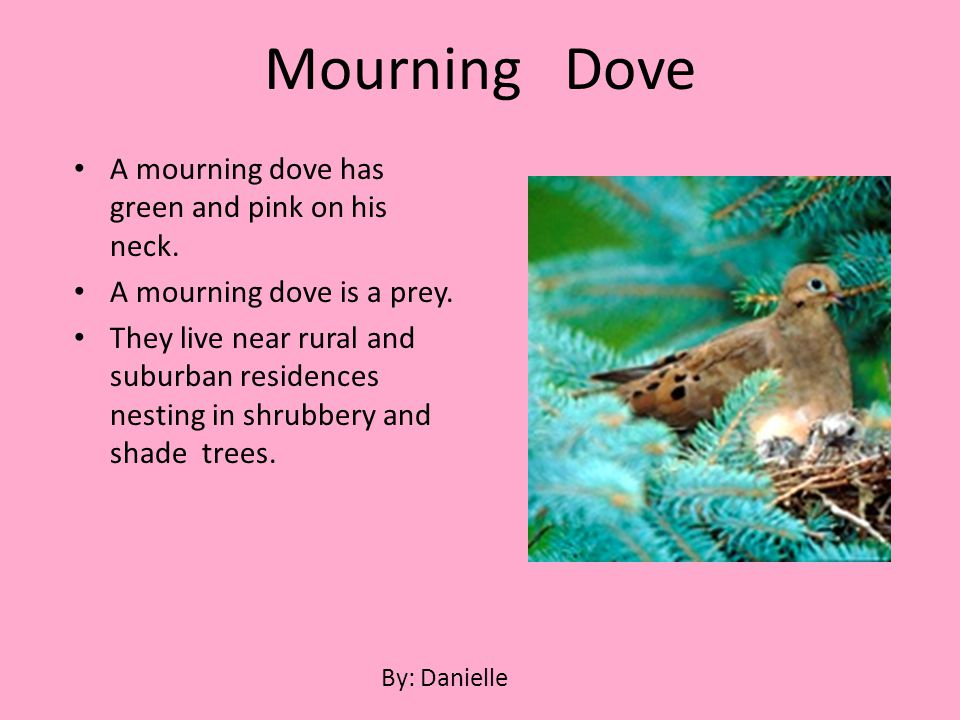 A mourning dove has green and pink on his neck. A mourning dove is a prey. They live near rural and suburban residences nesting in shrubbery and shade