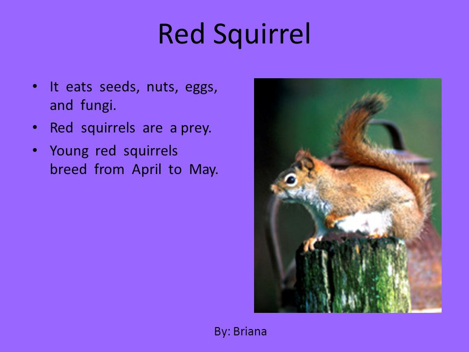 It eats seeds, nuts, eggs, and fungi. Red squirrels are a prey. Young red squirrels breed from April to May. Red Squirrel By: Briana