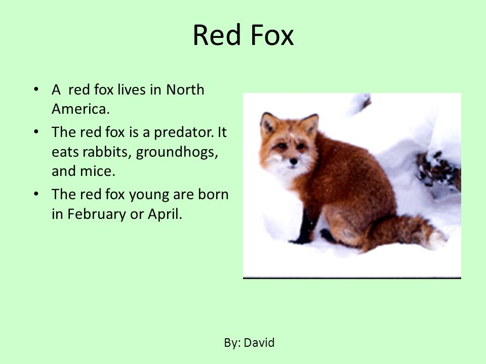 A red fox lives in North America. The red fox is a predator. It eats rabbits, groundhogs, and mice. The red fox young are born in February or April. R