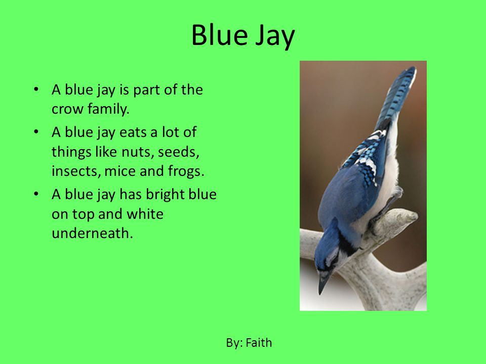 A blue jay is part of the crow family. A blue jay eats a lot of things like nuts, seeds, insects, mice and frogs. A blue jay has bright blue on top an