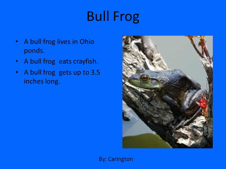 A bull frog lives in Ohio ponds. A bull frog eats crayfish. A bull frog gets up to 3.5 inches long. Bull Frog By: Carington
