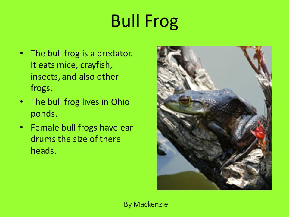 The bull frog is a predator. It eats mice, crayfish, insects, and also other frogs. The bull frog lives in Ohio ponds. Female bull frogs have ear drum