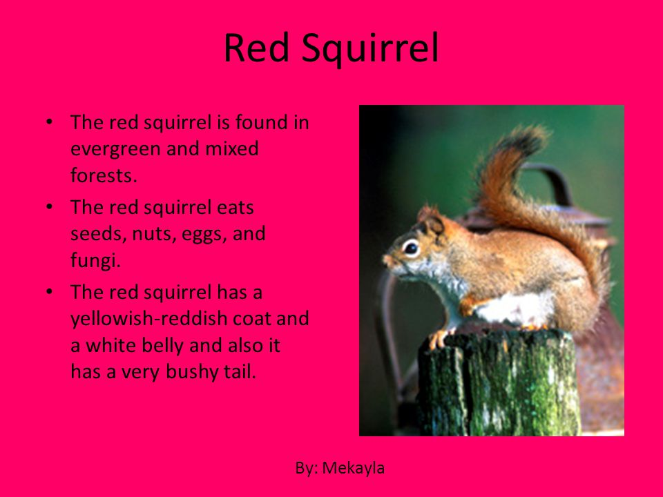 The red squirrel is found in evergreen and mixed forests. The red squirrel eats seeds, nuts, eggs, and fungi. The red squirrel has a yellowish-reddish