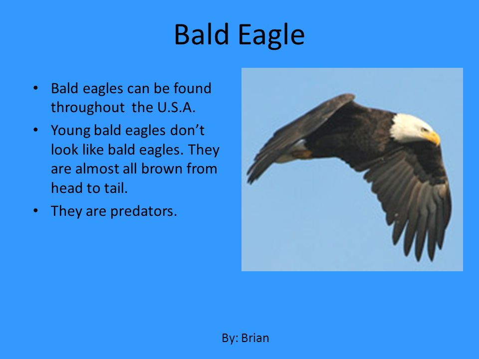 Bald eagles can be found throughout the U.S.A. Young bald eagles dont look like bald eagles. They are almost all brown from head to tail. They are pre