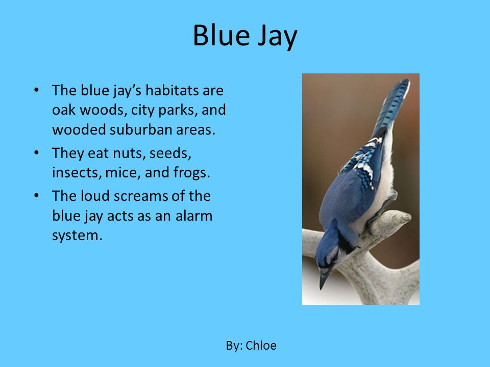 The blue jays habitats are oak woods, city parks, and wooded suburban areas. They eat nuts, seeds, insects, mice, and frogs. The loud screams of the b