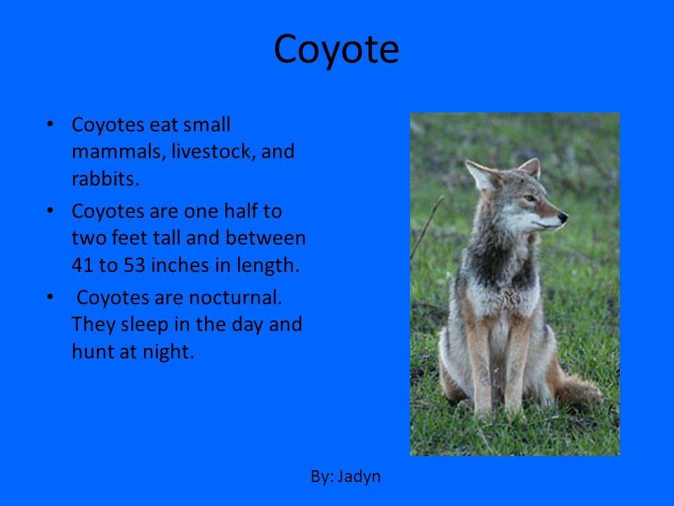 Coyotes eat small mammals, livestock, and rabbits. Coyotes are one half to two feet tall and between 41 to 53 inches in length. Coyotes are nocturnal.