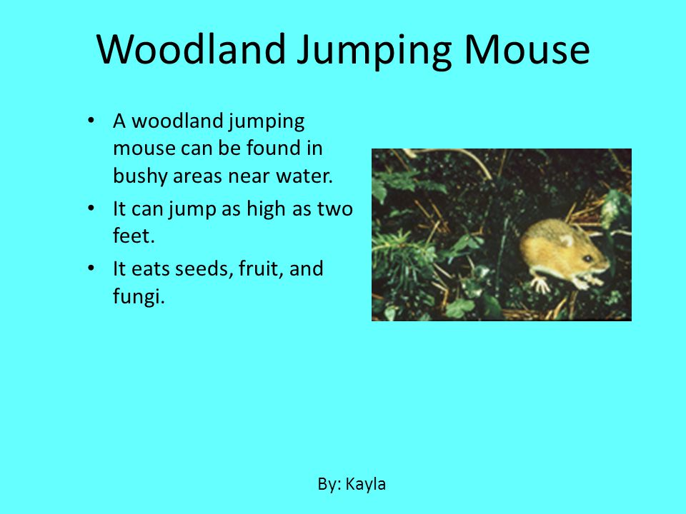 A woodland jumping mouse can be found in bushy areas near water. It can jump as high as two feet. It eats seeds, fruit, and fungi. Woodland Jumping Mo