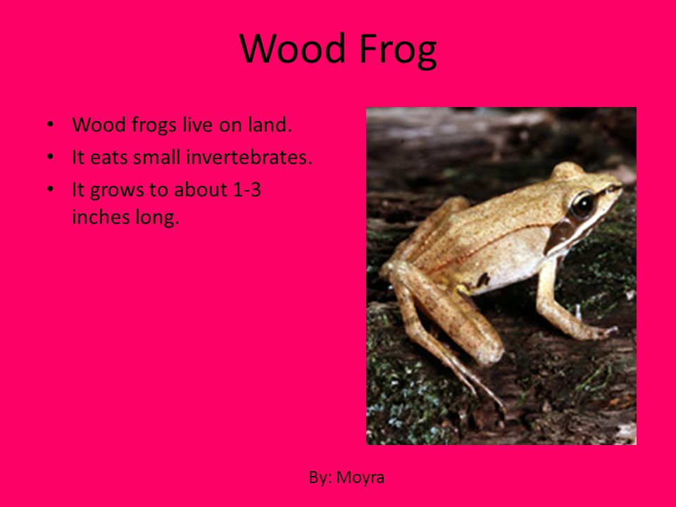 Wood frogs live on land. It eats small invertebrates. It grows to about 1-3 inches long. Wood Frog By: Moyra