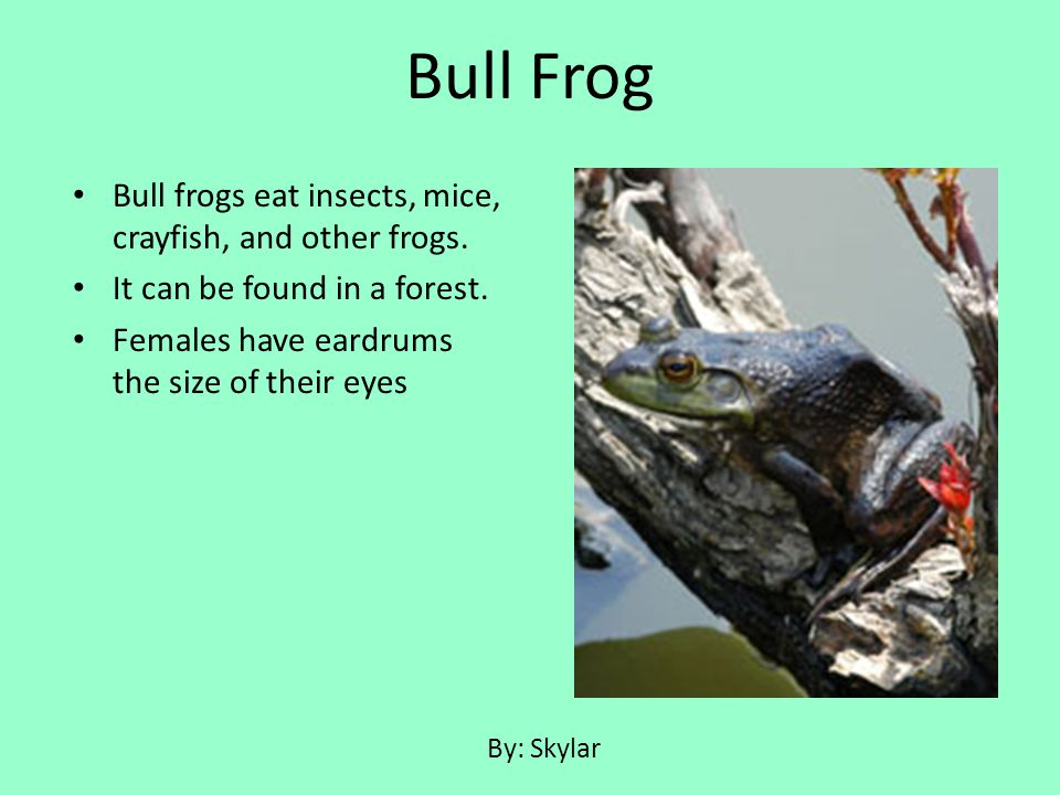 Bull frogs eat insects, mice, crayfish, and other frogs. It can be found in a forest. Females have eardrums the size of their eyes Bull Frog By: Skyla