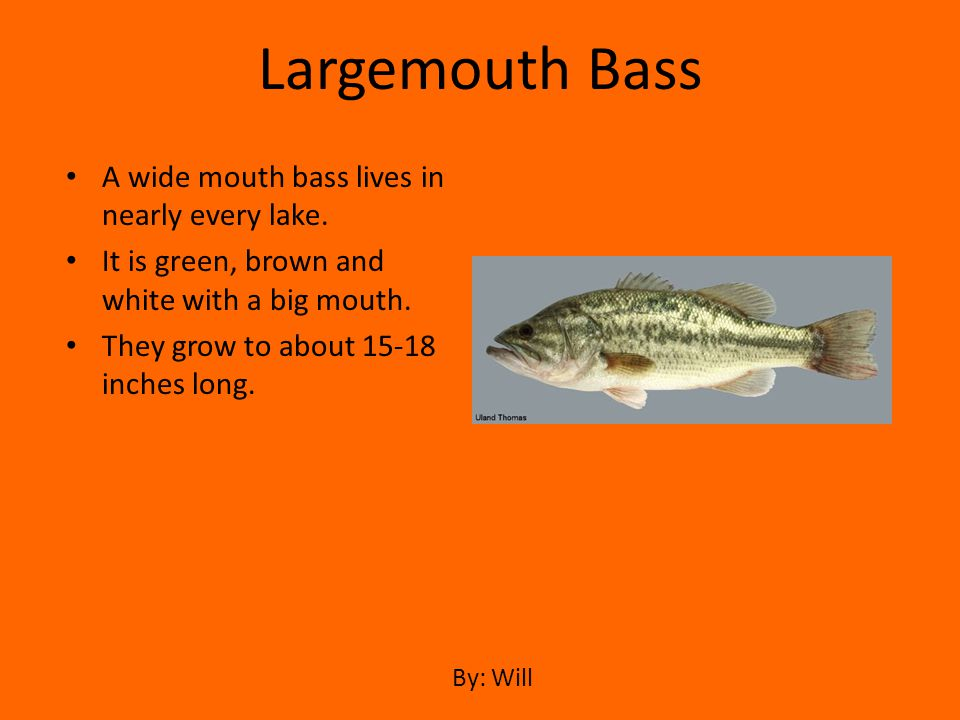 A wide mouth bass lives in nearly every lake. It is green, brown and white with a big mouth. They grow to about 15-18 inches long. Largemouth Bass By: