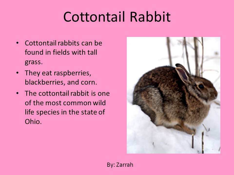 Cottontail rabbits can be found in fields with tall grass. They eat raspberries, blackberries, and corn. The cottontail rabbit is one of the most comm