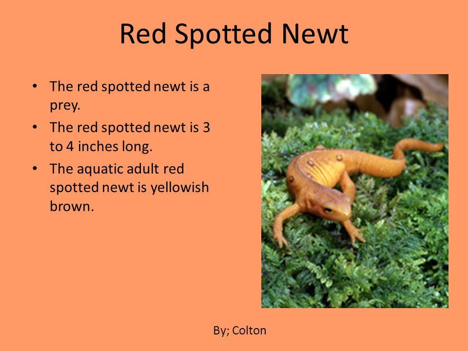 The red spotted newt is a prey. The red spotted newt is 3 to 4 inches long. The aquatic adult red spotted newt is yellowish brown. Red Spotted Newt By